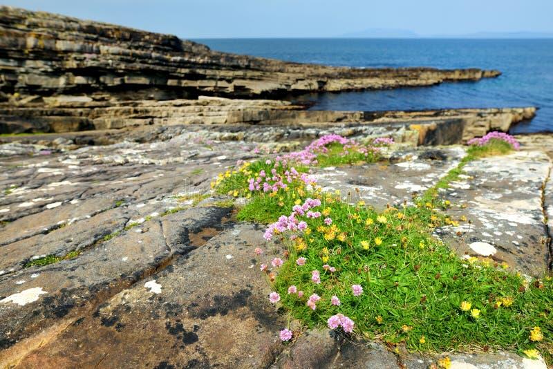 Buse och stenig kust l?ngs den ber?mda cirkeln av den Kerry rutten Iveragh halvö, ståndsmässiga Kerry, Irland arkivbild