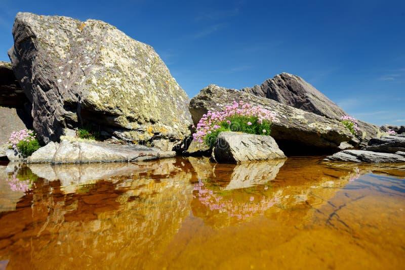 Buse och stenig kust l?ngs den ber?mda cirkeln av den Kerry rutten Iveragh halvö, ståndsmässiga Kerry, Irland arkivfoto