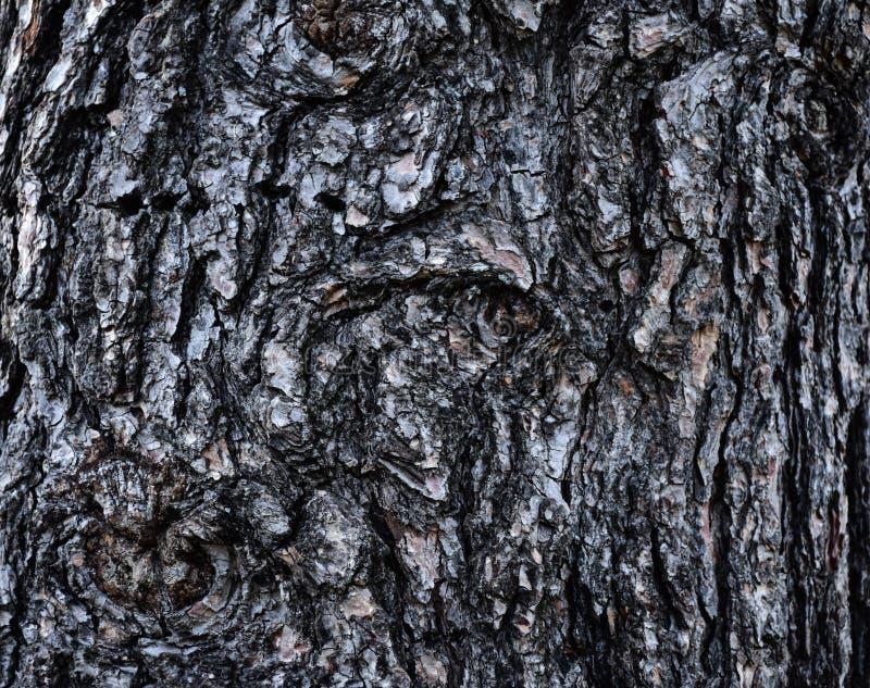 Busen texturerade skället av vitt sörjer trädPinusstrobus arkivbild