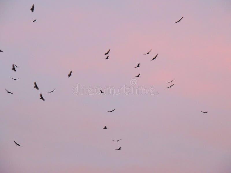 Buses de Cathartidae d'aves d'aura de Cathartes de vautours de Turquie montant au coucher du soleil près de St George Utah dans l photo stock