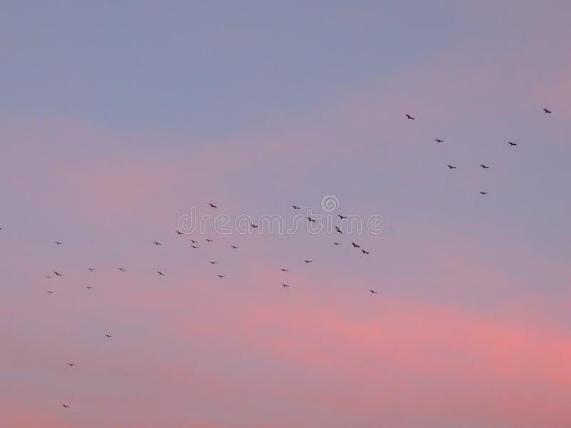 Buses de Cathartidae d'aves d'aura de Cathartes de vautours de Turquie montant au coucher du soleil près de St George Utah dans l photos stock