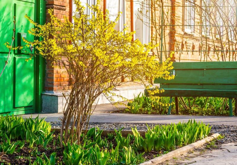 Bush żółte forsycje kwitnie przeciw ścianie z okno i ławką fotografia royalty free