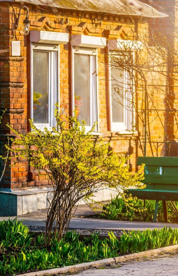 Bush żółte forsycje kwitnie przeciw ścianie z okno i ławką obrazy royalty free