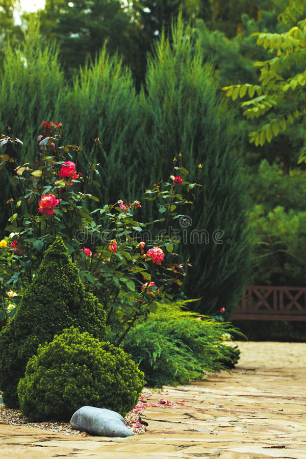 bush поднял стоковая фотография rf