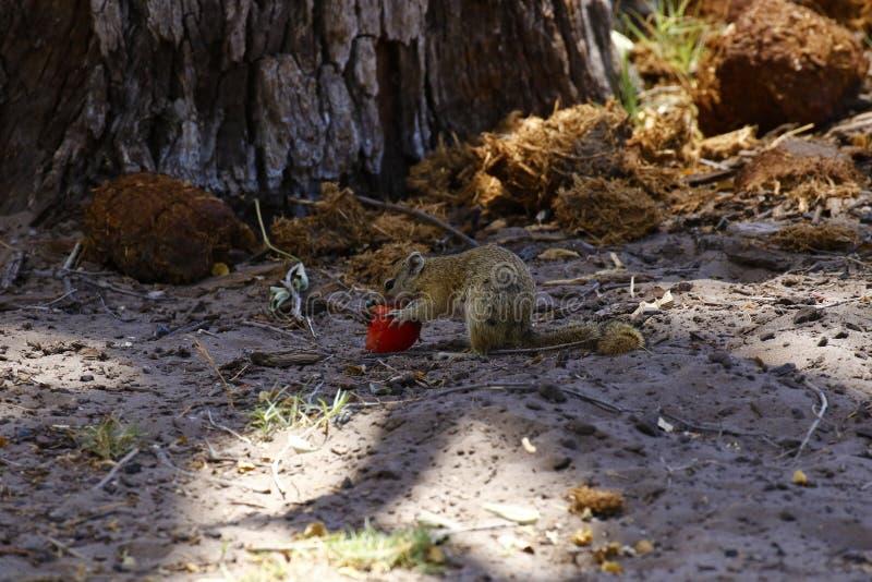 Bush accumulent manger du fruit au sol photo stock