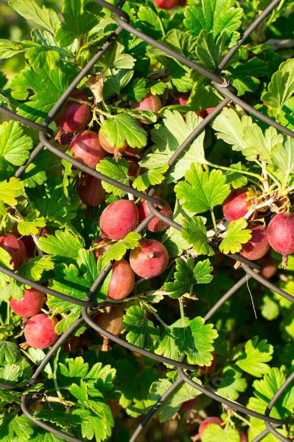 Bush agresty z czerwonymi jagodami obraz stock