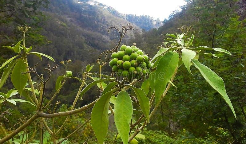 Bush-Anlage mit frischen grünen saftigen Beeren lizenzfreies stockbild