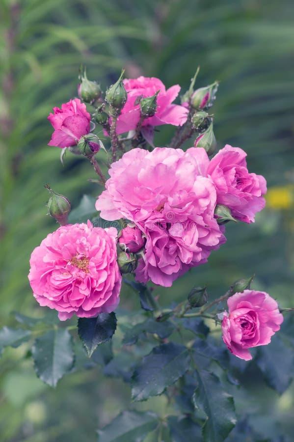 Bush aumentou Rosas cor-de-rosa delicadas no jardim Foco seletivo imagens de stock