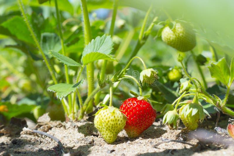Bush av den nya söta röda jordgubbeväxten Lösa mogna ljusa bär med gröna sidor i en trädgård royaltyfria foton