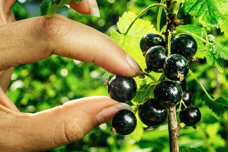 Bush av den svarta vinbäret som växer i en trädgård Bakgrund av svart cu royaltyfria bilder