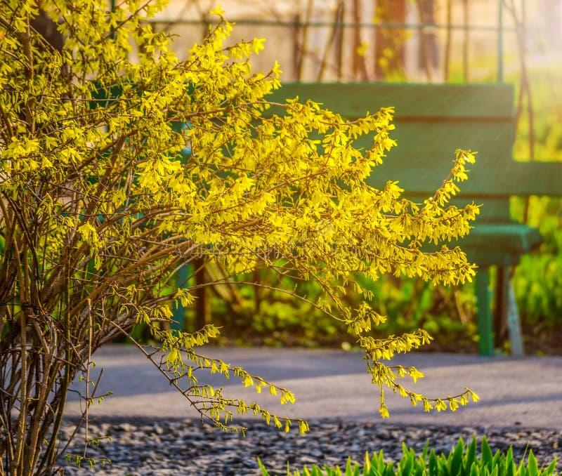 Bush av gul forsythia blommar mot väggen med fönstret och bänken royaltyfri foto
