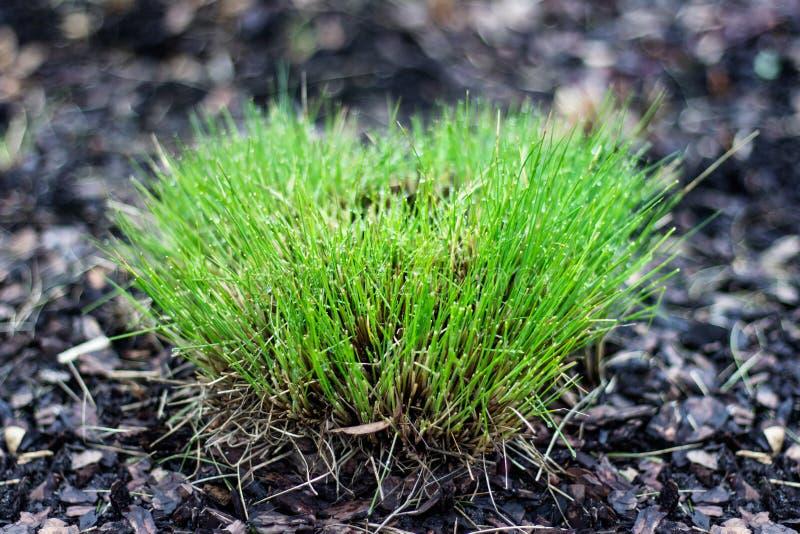 Bush av klippt grönt gräs i vårtid arkivbild