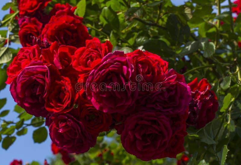 Bush av mörka rosor i trädgården royaltyfria foton