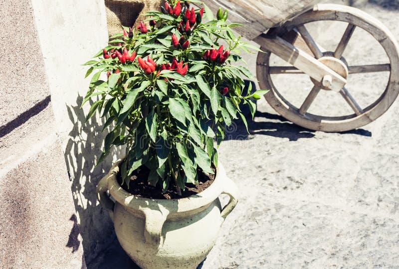 Bush av peppar för röd chili i kruka på trottoaren i Catania, Sicilien, Italien arkivfoto
