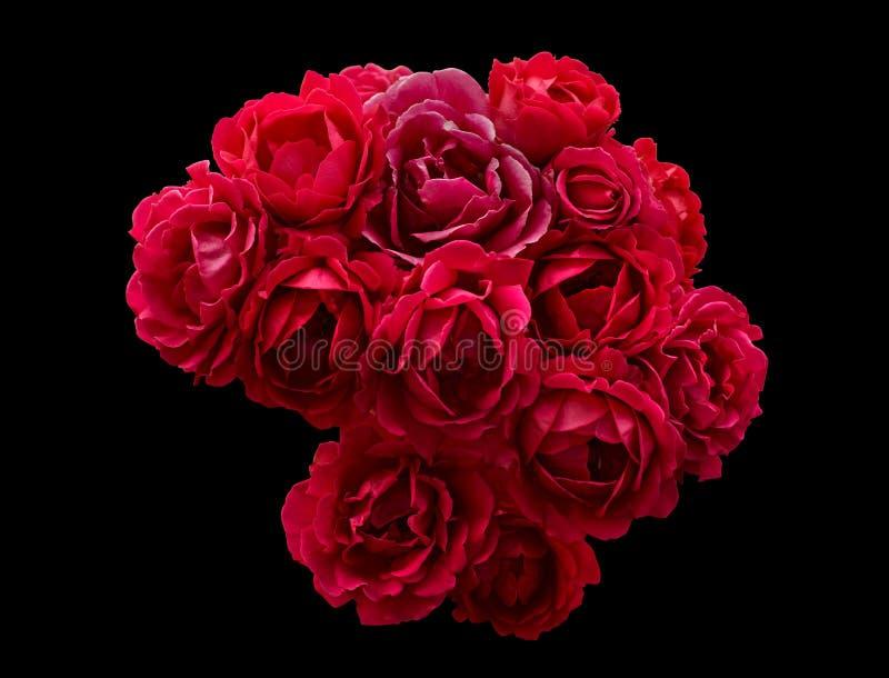 Bush av röda isolerade rosblommor royaltyfria bilder