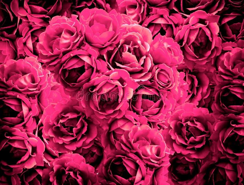 Bush av rosa färgrosen blommar bakgrundshöjdpunkten som kontrasteras med vignet royaltyfri fotografi