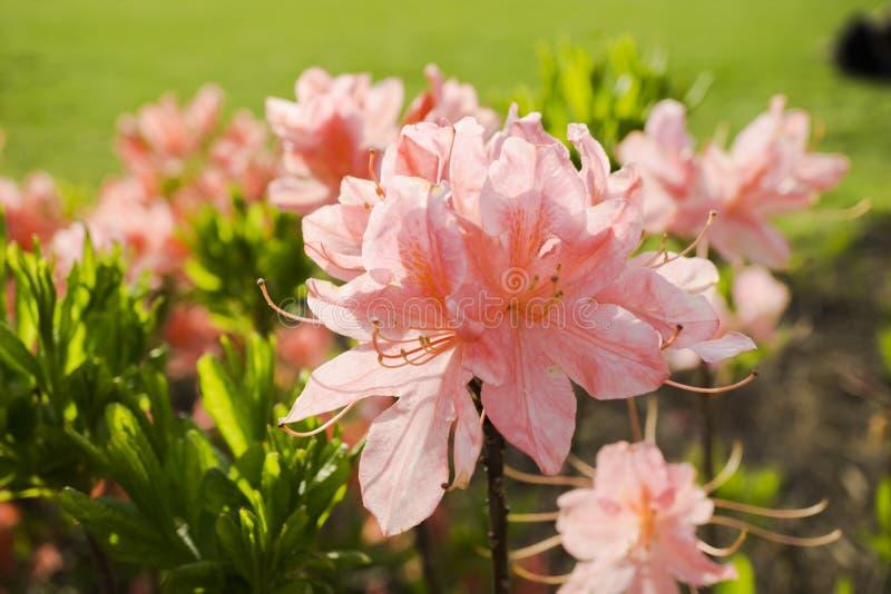 Bush av steg blommor royaltyfri foto