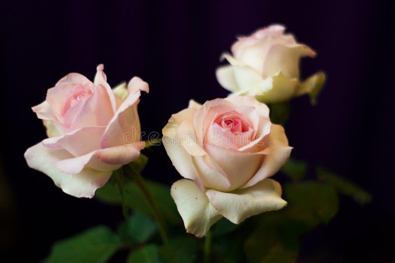 Bush av tre rosa rosor royaltyfri foto