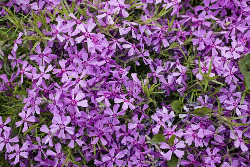 Bush av violetta blommor arkivfoto