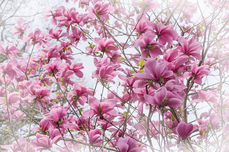 Bush avec les fleurs roses de magnolia photographie stock libre de droits