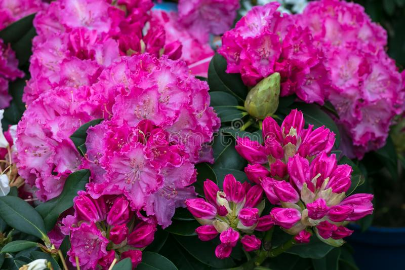 Bush of azaleas in pink color. Rhododendron Pearces. Pink flowers close-up.  Scarlet, red, azaleastrum. Alpine rose is bloom. Pott royalty free stock photo