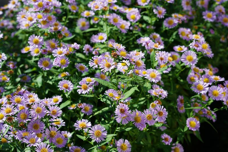 Bush of beautiful small purple daisies. Bush of small purple daisies with morning light, botany, petal, pretty, nature, detail, plant, violet, closeup, growing stock images