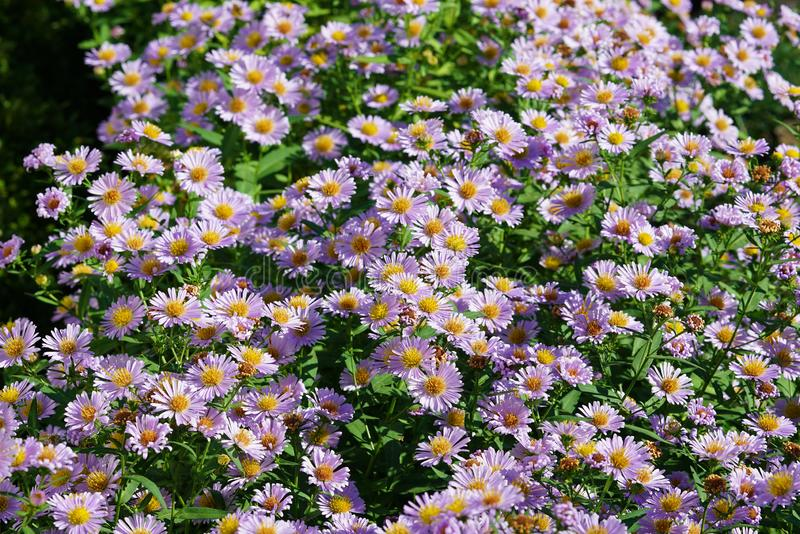 Bush of beautiful small purple daisies. Bush of small purple daisies with morning light, botany, petal, pretty, nature, detail, plant, violet, closeup, growing stock photos