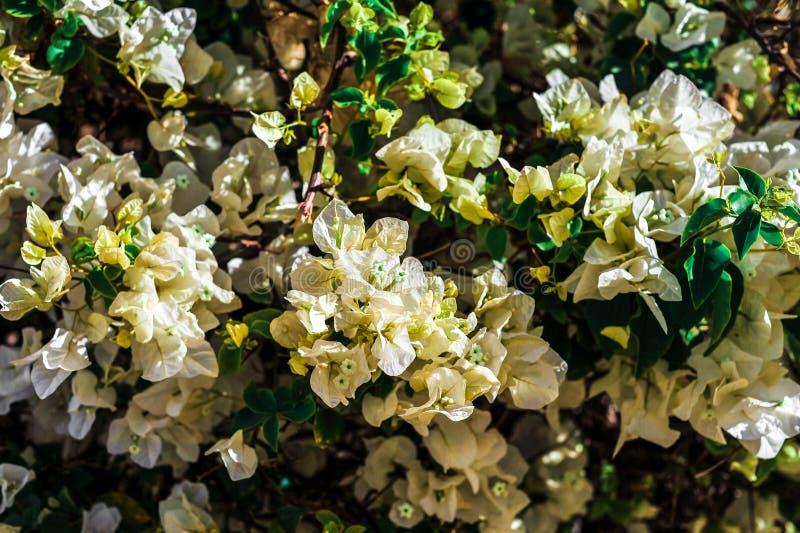 Bush biali tropikalni kwiaty z zielonymi liśćmi obrazy royalty free