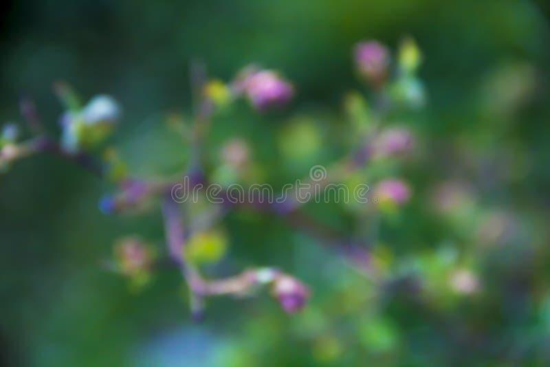 Bush-Blaubeere verzweigt sich Blattblütengrünrosa-Unschärfehintergrund stockfoto