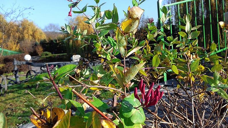 """Bush-bloei vroeger in de herfst â """"– 2 stock afbeeldingen"""