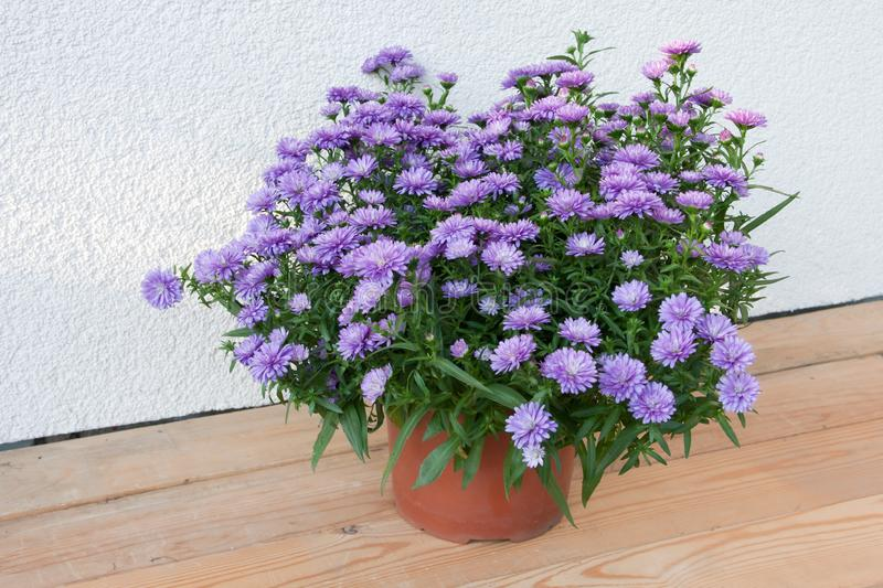 Bush blooming autumn asters in a plastic pot. On a light background stock photo