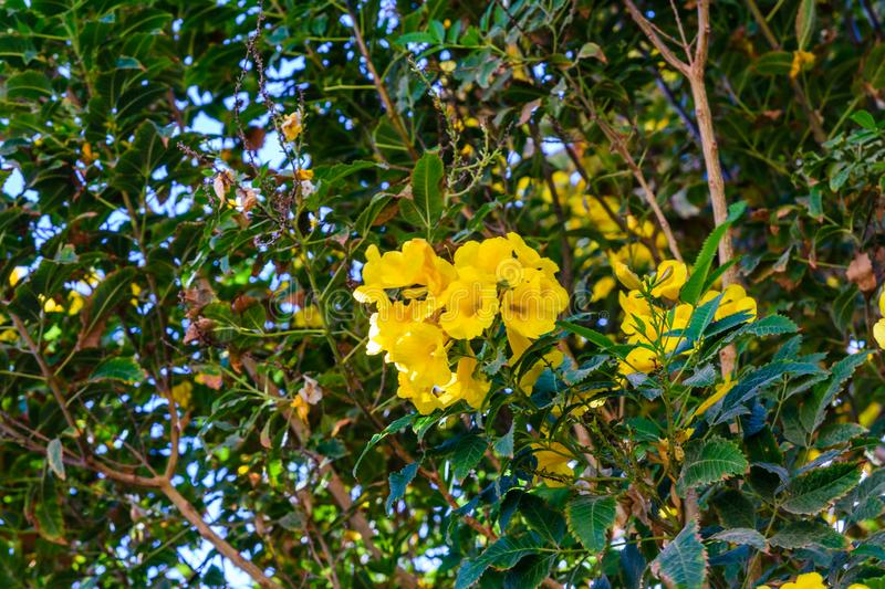 Bush of the blossoming tecoma stans also called ginger thomas, trumpet flower or yellow elder. Bush of blossoming tecoma stans also called ginger thomas, trumpet stock image
