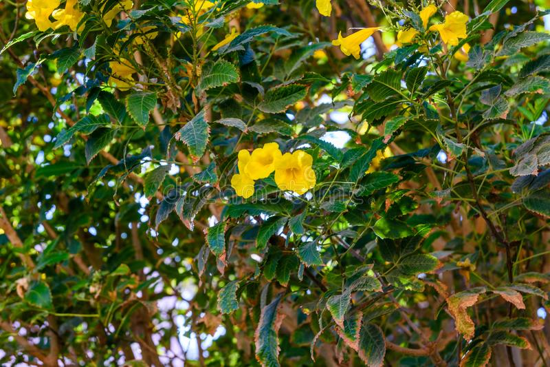 Bush of the blossoming tecoma stans also called ginger thomas, trumpet flower or yellow elder. Bush of blossoming tecoma stans also called ginger thomas, trumpet stock photo