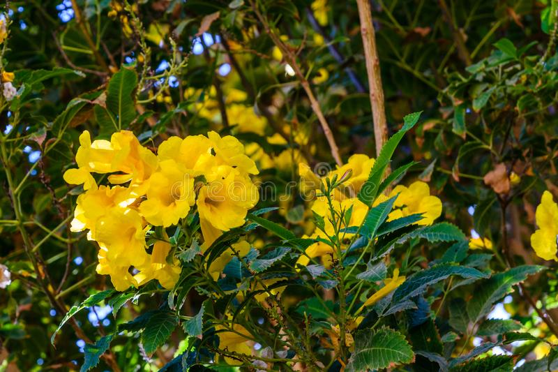 Bush of the blossoming tecoma stans also called ginger thomas, trumpet flower or yellow elder. Bush of blossoming tecoma stans also called ginger thomas, trumpet royalty free stock photo