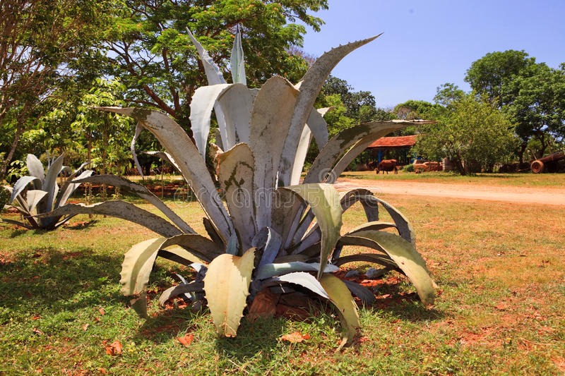 Bush of a blue agave