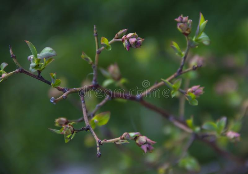 Bush blueberry branches leaves blossom green pink blur background royalty free stock photography