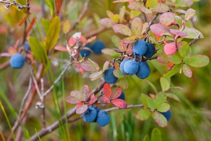 Bush of bog bilberry. Bush of ripe bog bilberry royalty free stock image