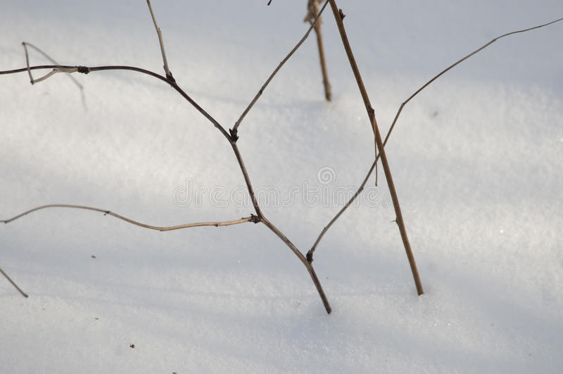 Bush branches and snow. In winter forest, close up royalty free stock image
