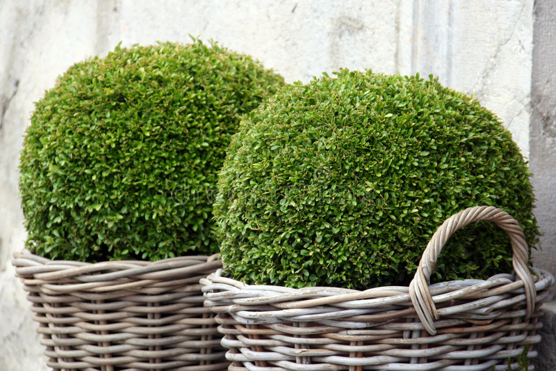 Download Bush Buxus (Buxus) stock image. Image of green, clay, potted - 8927241