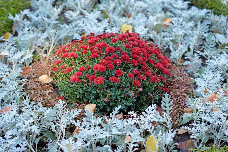 Bush of chrysanthemums surrounded by silver cineraria on a flower bed in an autumn park. A flower bed of silver cineraria adorned bush red chrysanthemums royalty free stock images