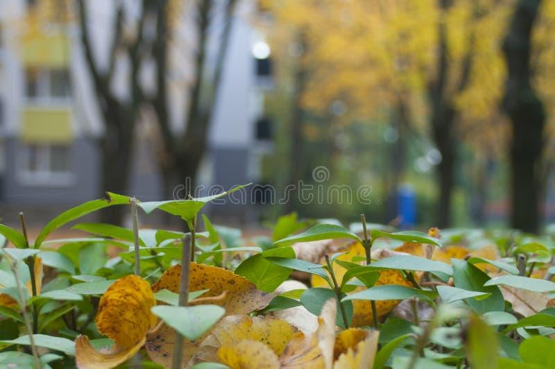 Bush com folhas de outono fotografia de stock royalty free