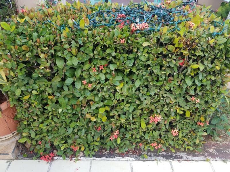 Bush com folhas verdes e as flores e luzes de Natal cor-de-rosa imagens de stock royalty free
