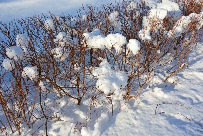 Bush con il cappuccio della neve fotografie stock