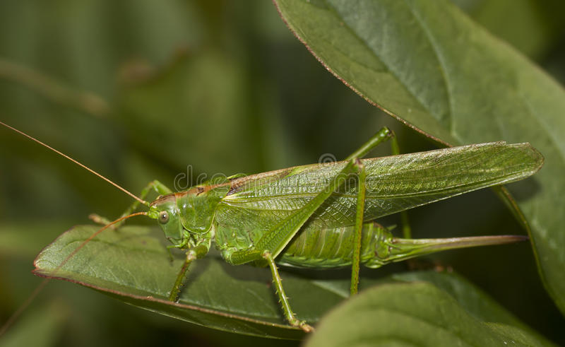bush cricket stock image image of crickets tettigoniidae. Black Bedroom Furniture Sets. Home Design Ideas