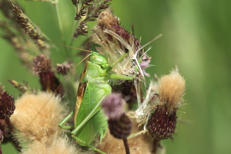 Download Bush-Cricket vert grand photo stock. Image du centrale - 76089112