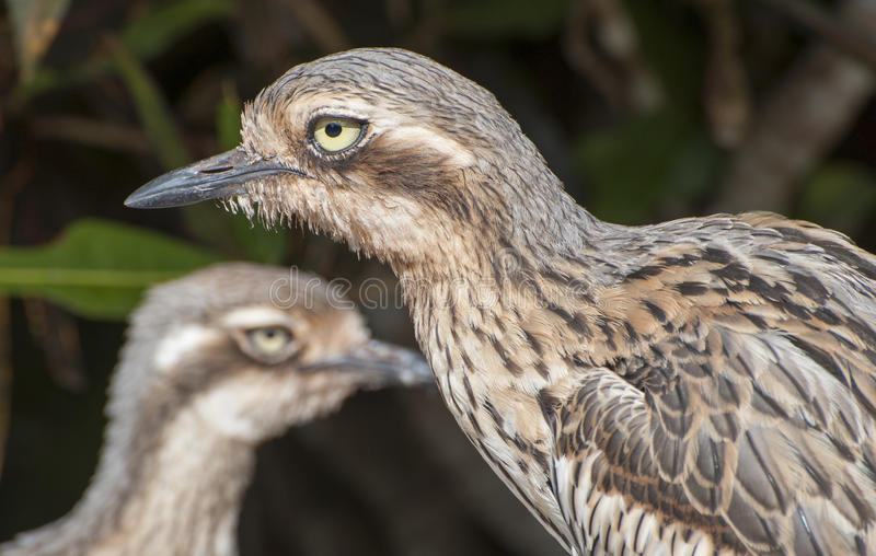 Bush Curlew obrazy stock