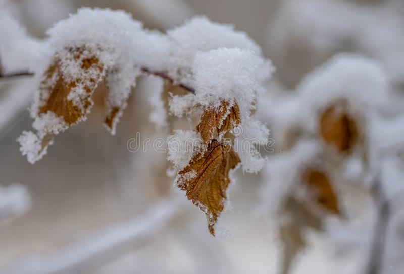 A bush of currant with yellow flowers under the snowyellow currant leaves under snow royalty free stock photography