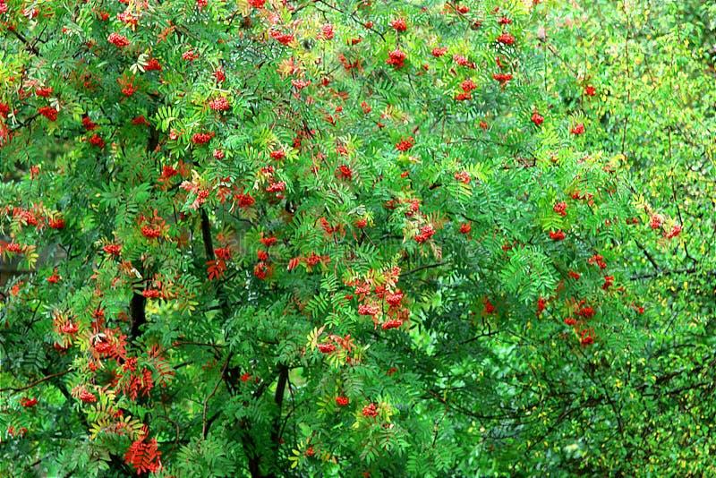 Bush d'ashberry images libres de droits