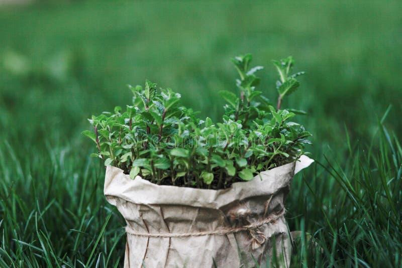 Bush da hortelã no potenciômetro, crescido em casa em um potenciômetro na grama verde fotos de stock