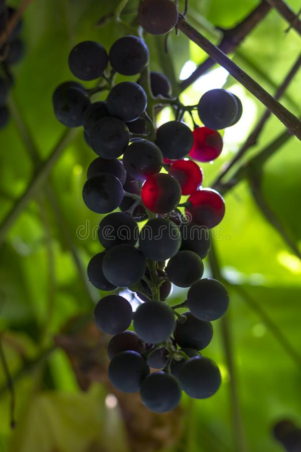bush of dark grapes. grown without chemistry. Designed for making wine royalty free stock images